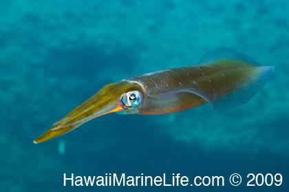 http://www.hawaiimarinelife.com/hawaiim1/ee/images/uploads/Kahe-09-3-1_12.jpg